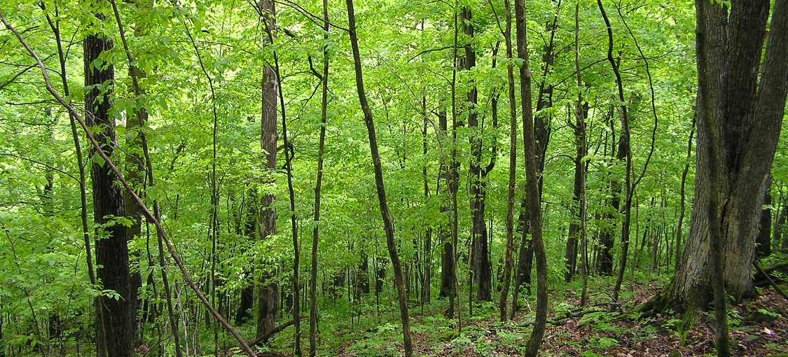 Southern Mesic Oak-Basswood Forest